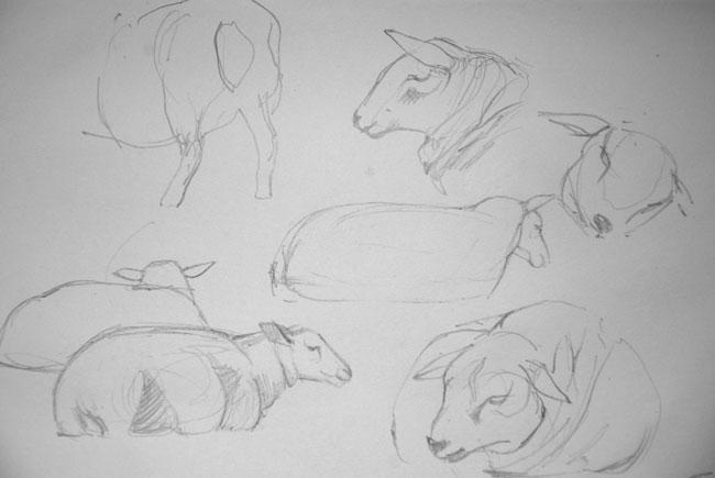 Sketch of sheep