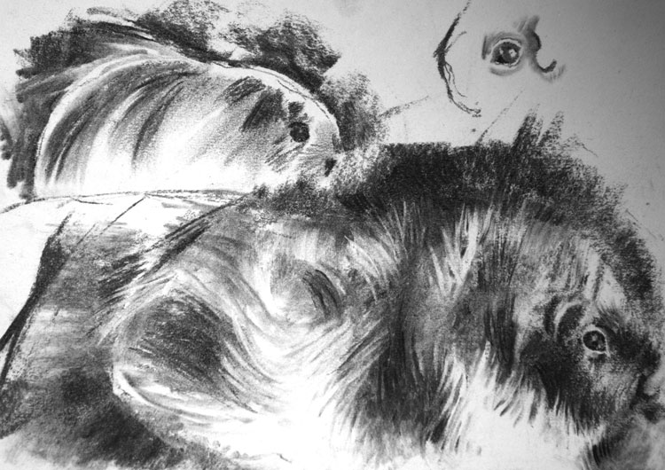 Charcoal sketch of guinea pigs