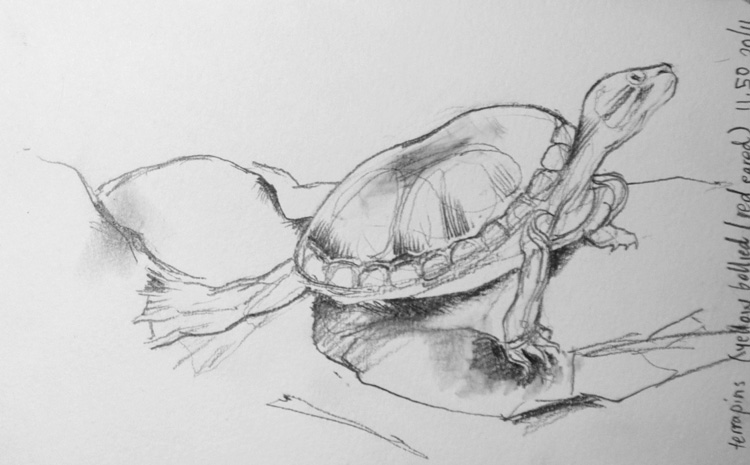 Pencil sketch of a red-eared terrapin